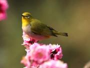 梅花上的绣眼鸟图片(8张)