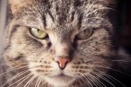 性格温顺的猫的头图片(11张)