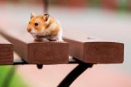 可爱的小豚鼠图片(7张)