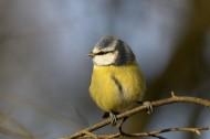 蓝冠山雀图片(9张)