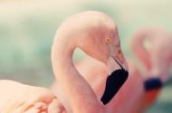 漂亮的火烈鸟图片(10张)