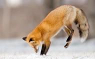 狐狸图片(8张)