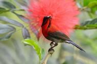 漂亮的黄腰太阳鸟图片(6张)