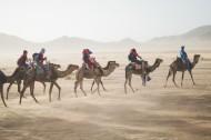 沙漠中的骆驼图片(13张)