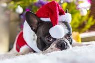 穿圣诞装的可爱小狗图片(15张)