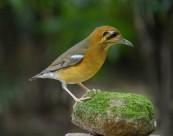 橙头地鸫鸟类图片(10张)
