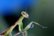 螳螂微距图片(7张)