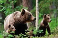 森林中的棕熊图片(6张)