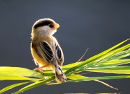 珍稀鸟种之震旦鸦雀图片(15张)