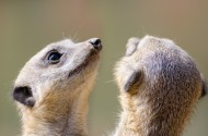 喜爱群居的狐獴图片(15张)