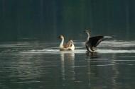 在水中央的鹅图片(8张)