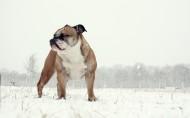 英国斗牛犬图片(9张)