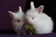 雪白的小白兔图片(13张)