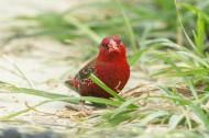 红梅花雀鸟类图片(8张)
