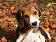活泼可爱的比格犬图片(19张)
