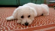 白色卷毛比熊犬图片(10张)