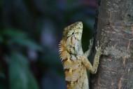变色树蜥图片(15张)