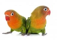 可爱的鹦鹉图片(10张)