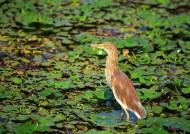 慵懒的黄苇鳽图片(8张)