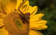 向日葵上的蜜蜂图片(15张)