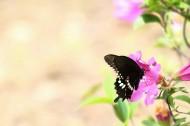 杜鹃花上的蝴蝶图片(6张)