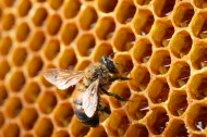 蜂巢上蜜蜂图片(7张)