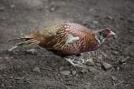 雉鸡图片(7张)