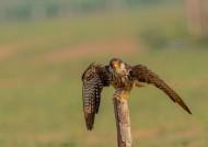 阿穆尔隼鸟类图片(21张)