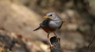 地鸫鸟图片(14张)