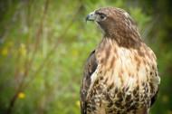 凶猛的老鹰图片(14张)