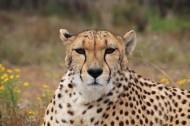 漂亮威武的金钱豹图片(12张)