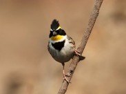 漂亮的黄喉鹀鸟类图片(5张)