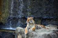 野外老虎图片(7张)