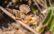 暖褐色的白腹幽鹛图片(12张)