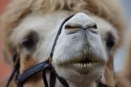 骆驼的面部图片(7张)