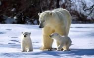 北极熊图片(12张)