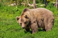 强壮的棕熊图片(12张)