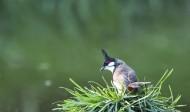 红饵鹎鸟类图片(5张)