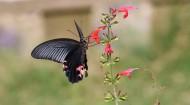 黑色的蝴蝶图片(11张)