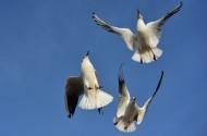 红嘴鸥图片(14张)