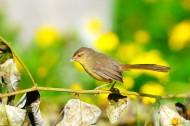 柳莺图片(16张)