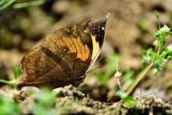 枯叶蝶图片(7张)