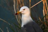 中型水禽之黑尾鸥图片(14张)