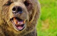 体形巨大的棕熊图片(15张)