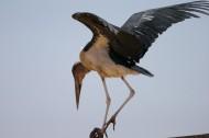非洲秃鹳鸟类图片(15张)