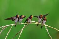 小燕子图片(11张)