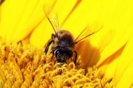 采花蜜的蜜蜂图片(15张)