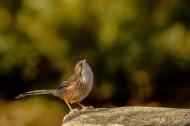 山鹛鸟图片(8张)