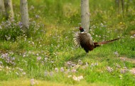 雉鸡展翅图片(10张)
