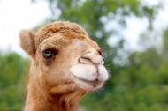 骆驼头部特写图片(7张)